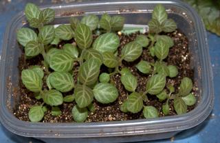 Semis de Sinningia speciosa (Gloxinia)