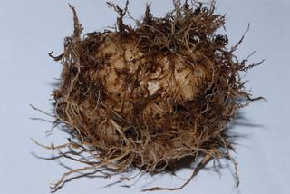 Sinningia speciosa (Gloxinia) : tubercule