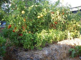 Tomates sur bottes de paille