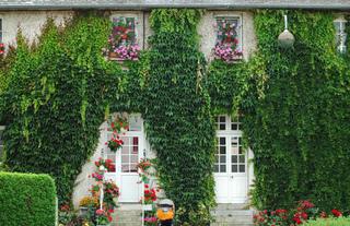 Vigne vierge sur une façade
