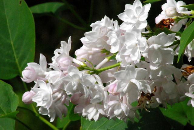 Lilas 'Belle de Moscou' (Lilas : le parfum du printemps)