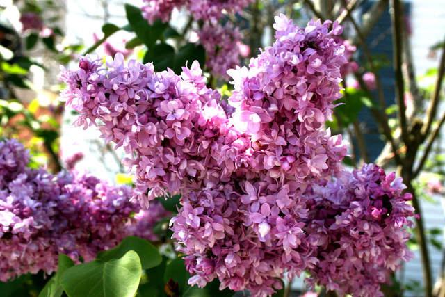 Lilas 'Charles Joly' (Lilas : le parfum du printemps)