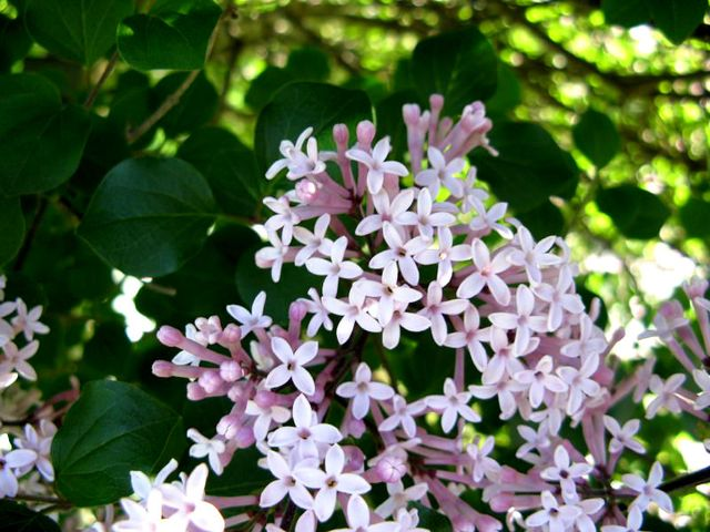 Syringa meyeri 'Palibin' (Lilas : le parfum du printemps)