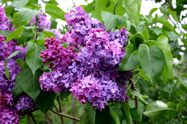 Lilas 'Congo' (Lilas : le parfum du printemps)