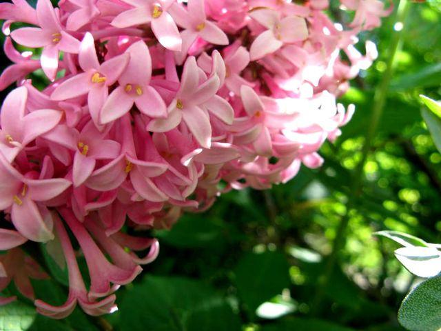 Syringa x prestoniae 'Miss Canada' (Lilas : le parfum du printemps)