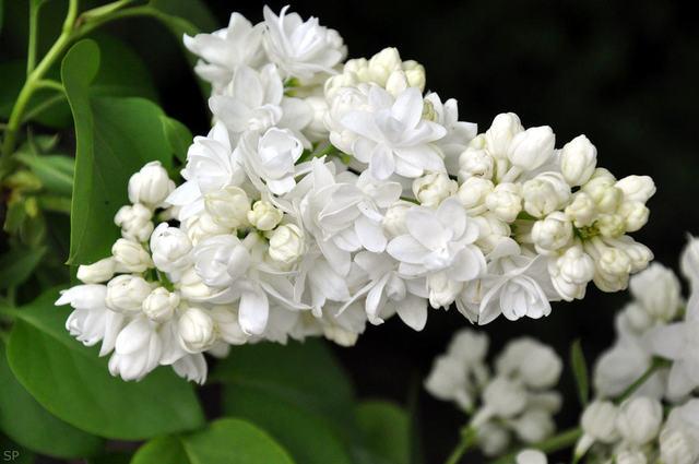 Lilas 'Souvenir d'Alice Harding' (Lilas : le parfum du printemps)