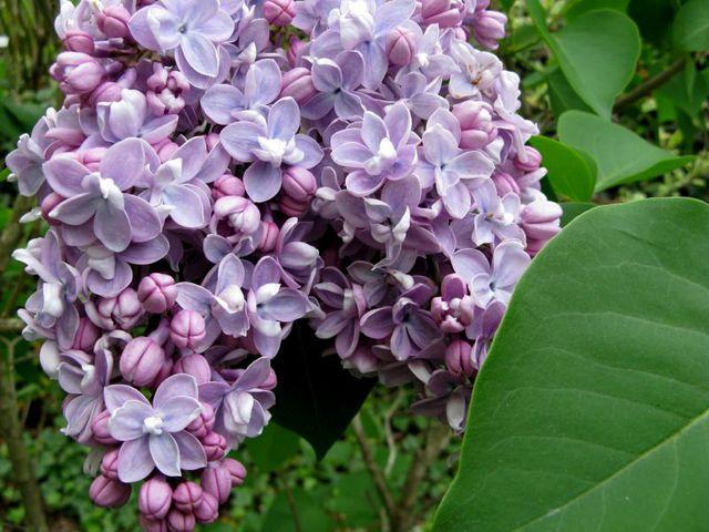 Lilas 'Président Grévy' (Lilas : le parfum du printemps)