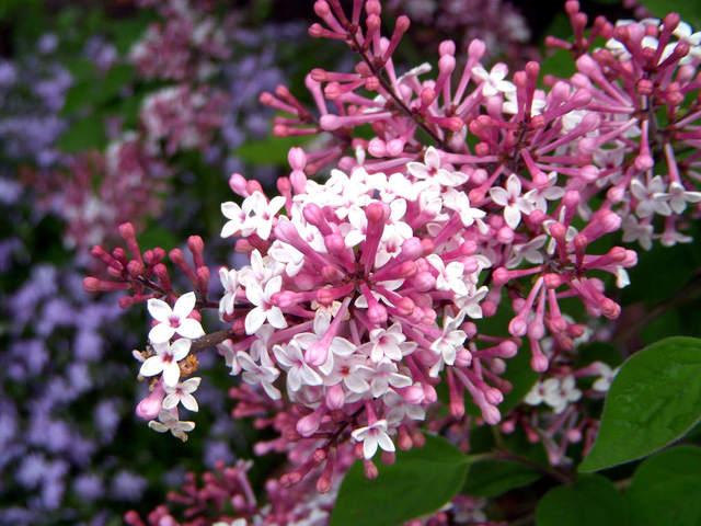Syringa microphylla 'Superba' (Lilas : le parfum du printemps)