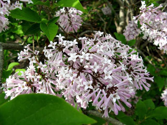 Syringa pubescens subsp. patula 'Miss Kim' (Lilas : le parfum du printemps)