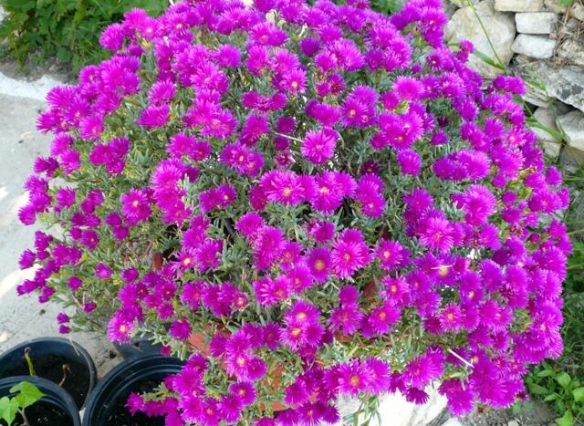 Pourpier d 39 ornement for Plante vivace en pot hiver
