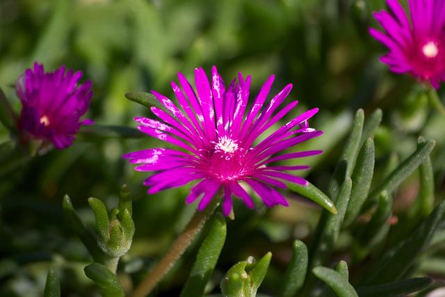 Delosperma cooperi , Pourpier à fleurs vivace Agrandir l\u0027image