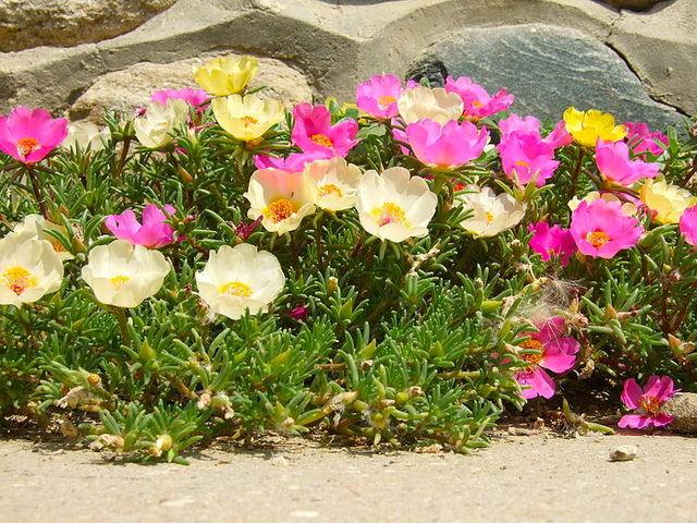 Pourpier d\'ornement : une fleur solide pour rocaille, balcon ...