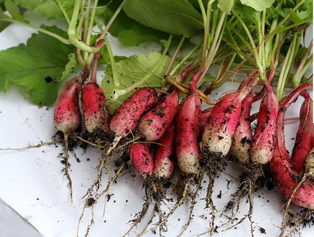 Les meilleurs radis à semer au printemps et en été