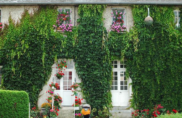 Choisir une plante grimpante - Vigne vierge feuillage persistant ...