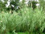 Canne de Provence, Arundo donax