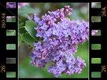 Lilas : le parfum du printemps