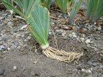 Plantation des iris