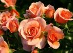 Rosiers Sans Contrainte® de Kordes : faciles à vivre et florifères !
