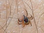 Tiques et maladie de Lyme : jardiniers, attention !