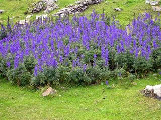 Touffe d'Aconitum napellus en montagne