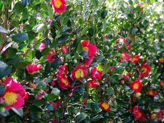 Camellia sasanqua, le camellia d'automne parfumé