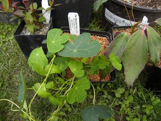 Jeune plant de capucine tubéreuse