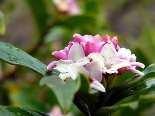 Daphne odora, le bois-joli odorant
