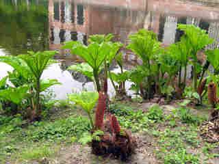 Gunnera manicata, la rhubarbe géante du Brésil
