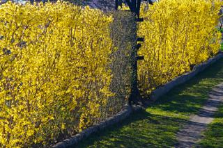 Arbustes à floraison hivernale
