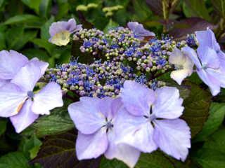 Hydrangea, hortensia : les différentes formes et espèces