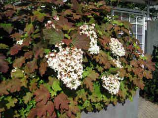 Les hydrangeas arbustifs : arborescens, quercifolia, paniculata...