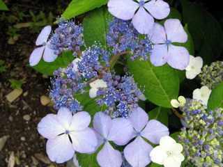 Hydrangea serrata 'Blue Bird'