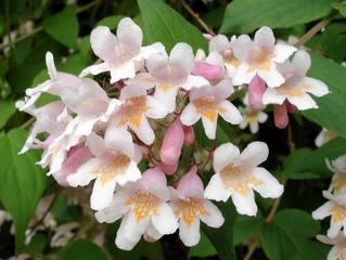 Kolkwitzia amabilis : description, culture, variétés
