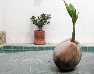 Noix de coco germée (Cocos nucifera)