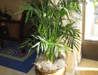 Chrysalidocarpus lutescens (Areca)