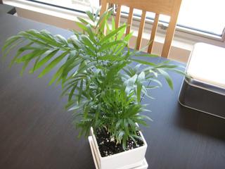 Jeune palmier en pot - Chamaedorea elegans