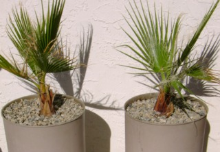 Jeunes palmiers en pot - Washingtonia filifera