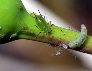 Puceron vert du rosier et larve de syrphe