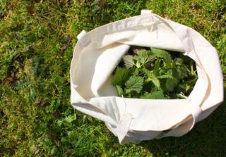 Récolte de feuilles d'ortie pour la fabrication de purin