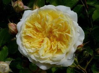 Rose 'The Pilgrim' : forme plate