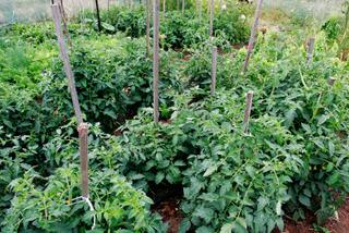 Plants de tomates plantés trop serrés