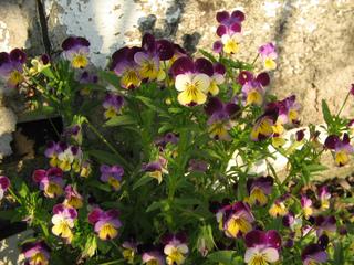 Viola cornuta au pied d'un mur