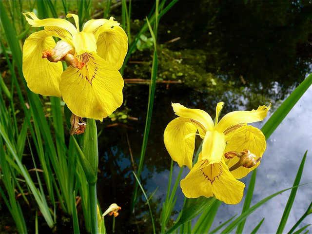 Iris pseudacorus, l'iris de nos marais (Iris, la fleur des rois)