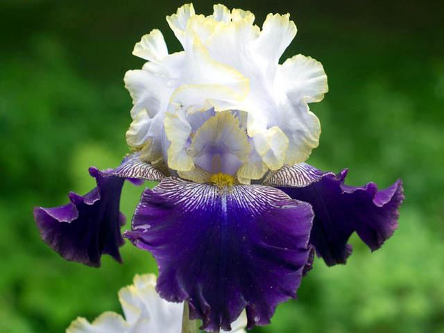 Iris pseudacorus l 39 iris de nos marais iris la fleur des rois - Langage des fleurs iris ...