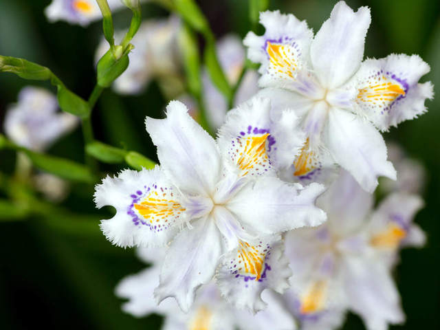 Iris japonica (Iris, la fleur des rois)