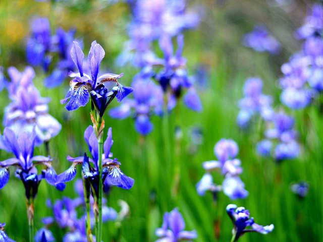 Iris sibirica (Iris, la fleur des rois)