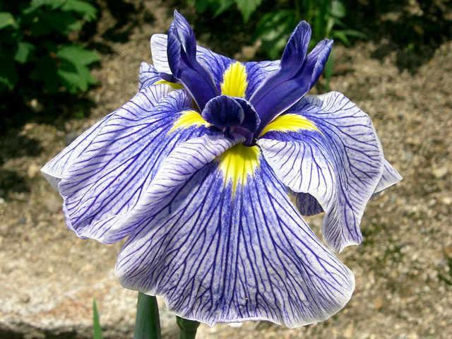 Iris ensata 'Azuma Kagami'  (Iris, la fleur des rois)