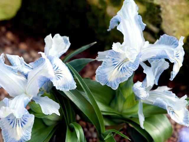 Iris nusairiensis (Iris, la fleur des rois)