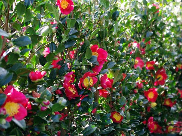 cam lia des arbustes incontournable pour fleurir l 39 hiver. Black Bedroom Furniture Sets. Home Design Ideas