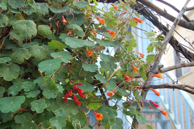 Capucine tubéreuse : décorative, mais aussi légume de bon rendement
